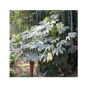 Fatsia japonica 'Variegata' (Aralia sieboldii)(Aralia j.)