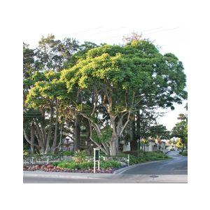 Jacaranda mimosifolia Multi (J. acutifolia)
