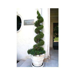 Juniperus chinensis 'Spartan' Spiral