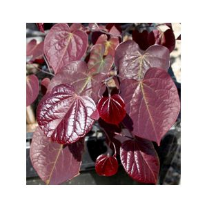 Cercis canadensis 'Forest Pansy' Low Branch