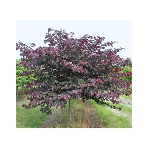 Cercis canadensis 'Forest Pansy' Standard