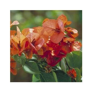 Bougainvillea 'Orange King' Espalier