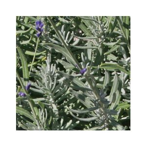Lavandula angustifolia 'Hidcote' (L. officinalis)(L. vera)