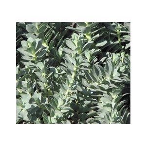 Euphorbia myrsinites