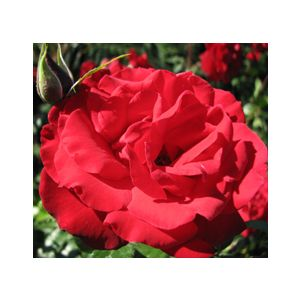 Rosa 'Black Cherry'