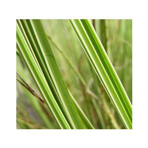 Carex elegantissima 'Variegata' (C. brunnea 'Variegata')