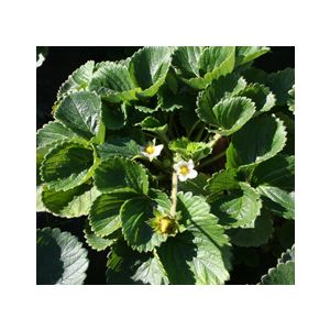Fragaria 'Assorted Edible Varieties'