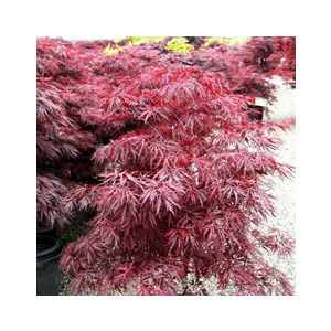 Acer palmatum 'Red Dragon' ('Dissectum Red Dragon')