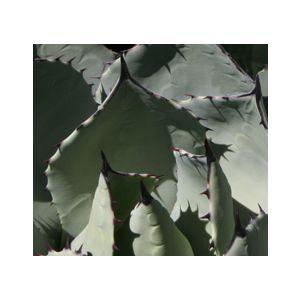 Agave parryi var. huachucensis