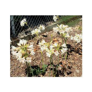 Amaryllis belladonna 'Alba'