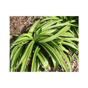 Amaryllis belladonna (Brunsvigia rosea)