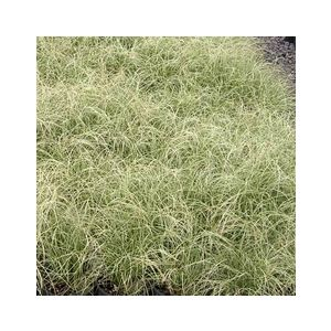Carex comans 'Frosted Curls' ('Frosty Curls')