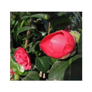 Camellia japonica 'Mrs. Charles Cobb' Espalier