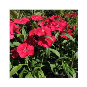 Dianthus chinensis 'Assorted Varieties'