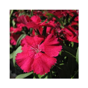 Dianthus chinensis 'Mixed Colors'