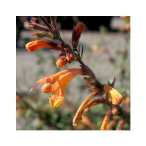 Agastache aurantiaca 'Apricot Sunrise'