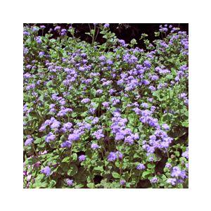 Ageratum houstonianum 'Blue'