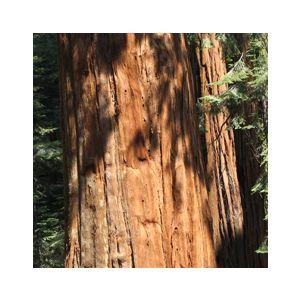 Sequoiadendron giganteum (Sequoia gigantea)