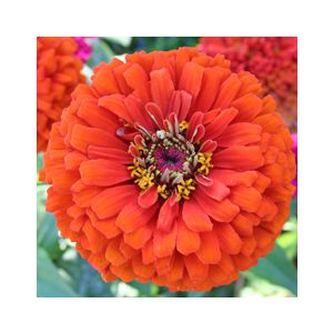 Zinnia elegans Dwarf or Medium 'Assorted Varieties'