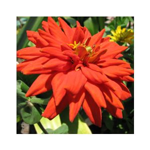 Zinnia elegans Dwarf or Medium 'Mixed Colors'