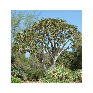 Aloe bainesii (A. barberae)