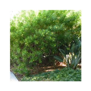 Thevetia peruviana  Standard (T. neriifolia)