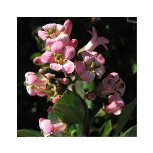 Escallonia x exoniensis 'Frades' (E. 'Fradesii')