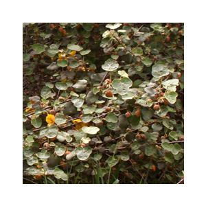 Fremontodendron 'Ken Taylor' (Fremontia)