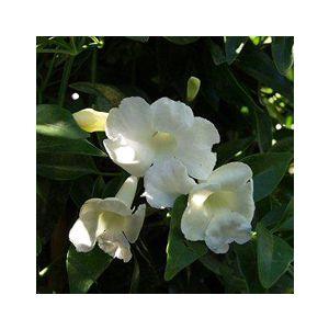 Pandorea jasminoides 'Alba' (Bignonia j.)(Tecoma j.)