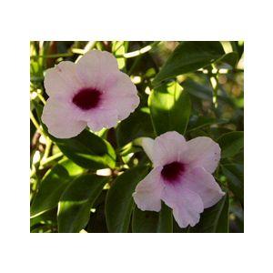 Pandorea jasminoides 'Rosea' (Bignonia j.)(Tecoma j.)