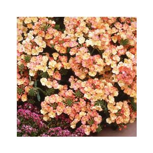 Verbena x hybrida 'Assorted Annual Varieties'