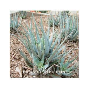 Aloe 'Blue Elf'