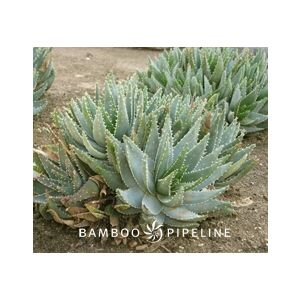 Aloe brevifolia var. depressa