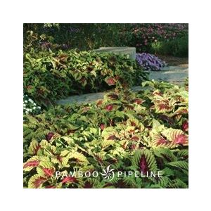 Coleus 'Assorted Varieties'