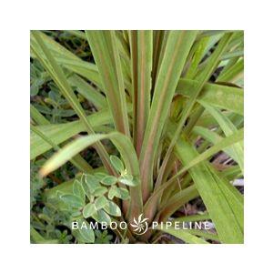 Cordyline australis (Dracaena a.)