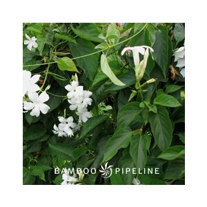 Mandevilla laxa (M. suaveolens)