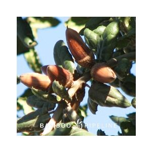 Quercus agrifolia Multi/Low Branch