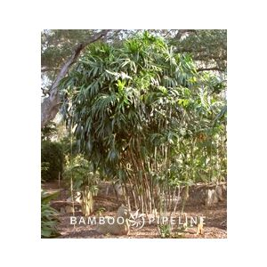 Rhapis excelsa (prices vary)