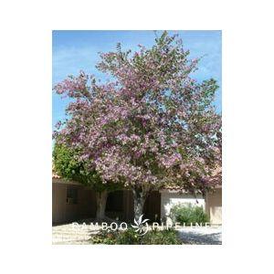 Bauhinia variegata Standard (B. purpurea)
