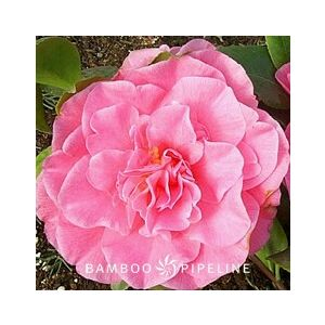 Camellia japonica 'Spellbound' ('Marie Bracey')