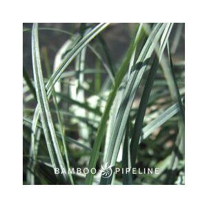 Carex glauca (C. flacca)