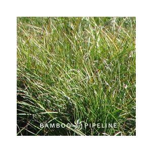 Carex pansa