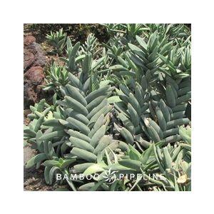 Crassula falcata (C. perfoliata var. minor)(C. perfoliata f.)