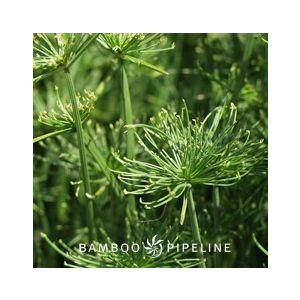 Cyperus isocladus (C. prolifer)