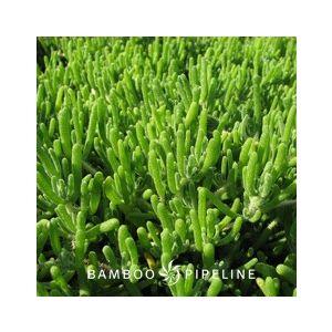 Drosanthemum floribundum (Drosanthemum hispidum)