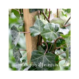 Hedera helix 'Hahn's' Staked