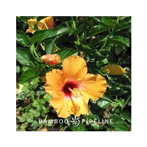 Hibiscus rosa-sinensis 'Cherie'