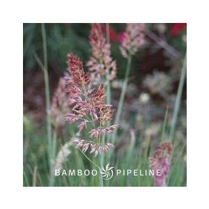 Melinus nerviglumis 'Pink Crystals' (Rhynchelytrum nerviglume)