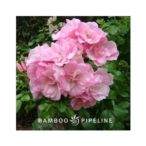 Rosa 'Flower Carpet Apple Blossom'
