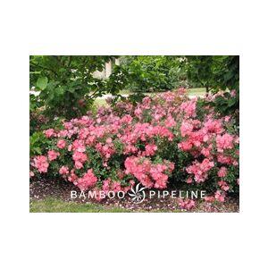 Rosa 'Flower Carpet Coral'